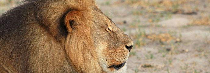 What Cecil The Lion Reveals About Our Culture